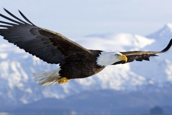 the poet eagle bird art flying sky