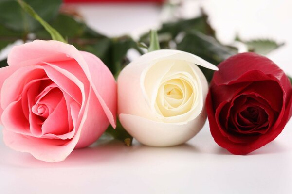 three Roses red pink white
