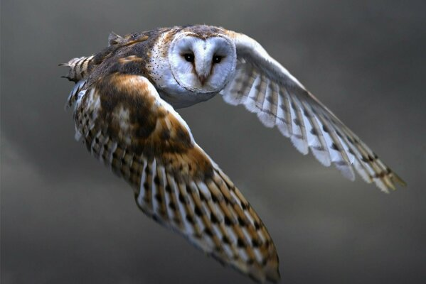 barn owl feathers glance wings owl flapping Bird flight