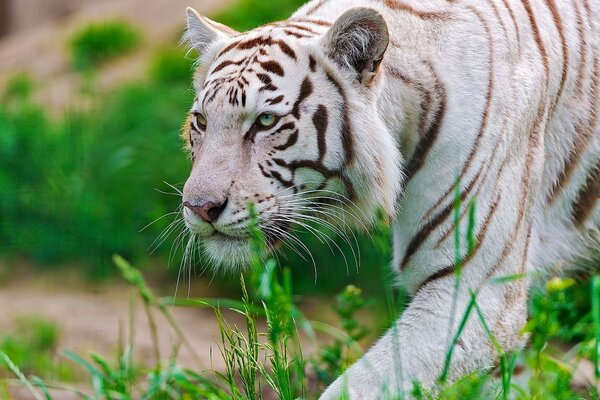 waite tiger predator tiger face white