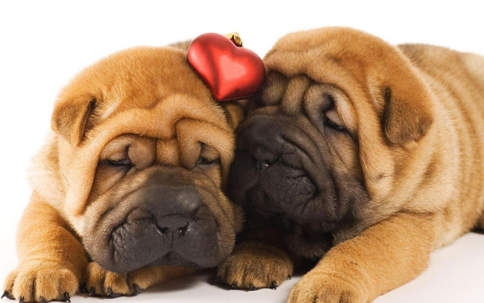 Situation Puppies Sleep A Shar Pei Sleeping Android Wallpapers For Free