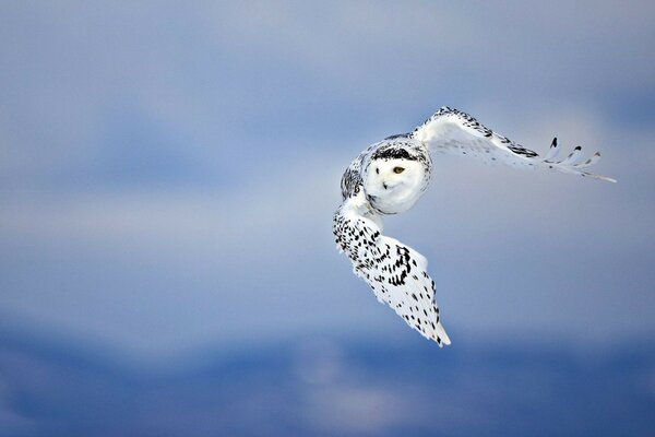 bird sky background owl wings predator