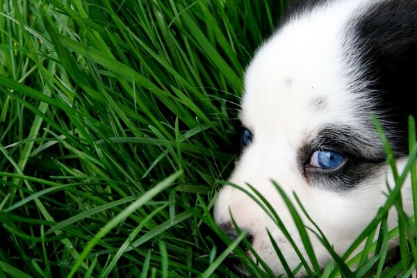 animal cute husky puppy dog green eyes sweet grass