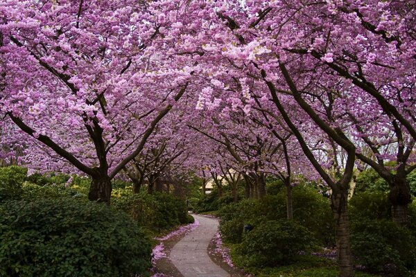 Park blooming flowers Sakura Japan alley trees