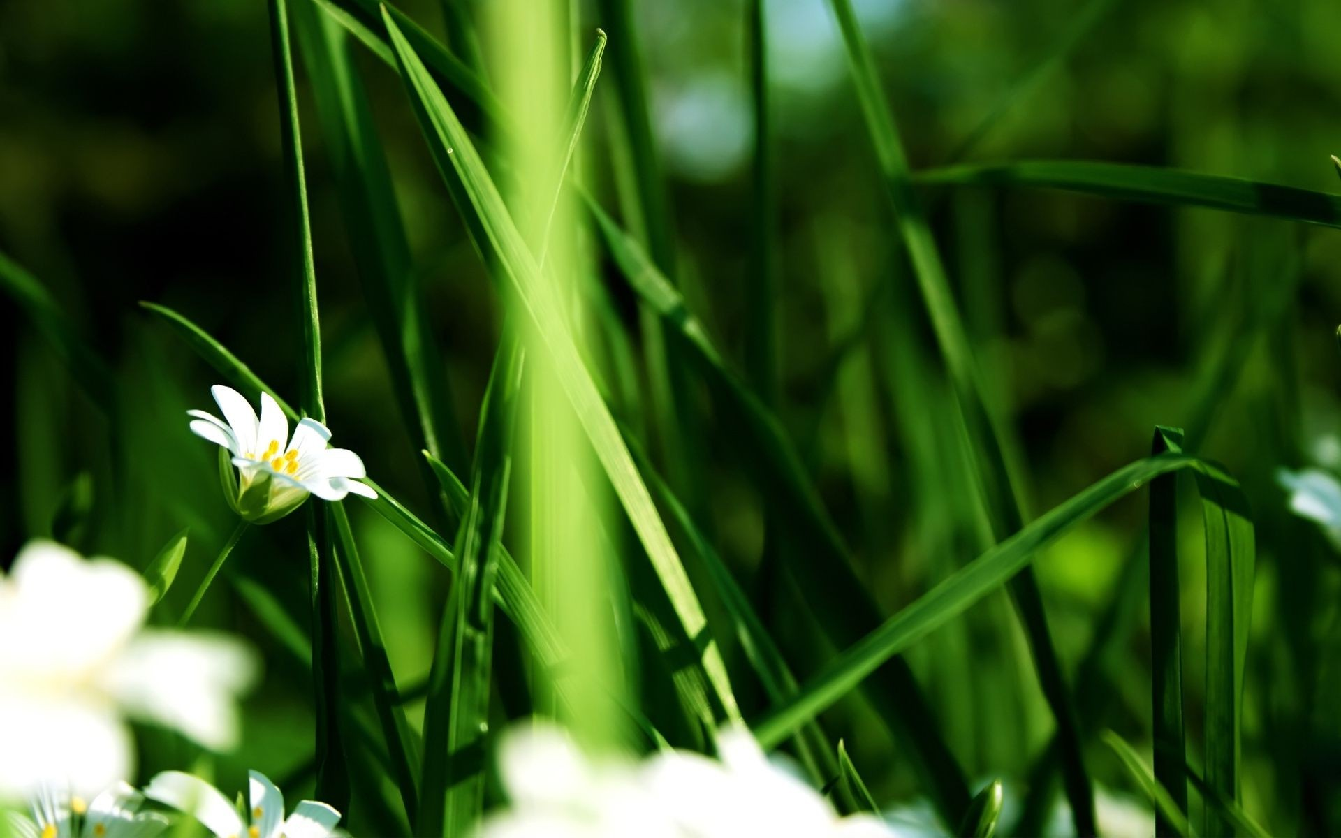 White Flower In The Grass Desktop Wallpapers For Free