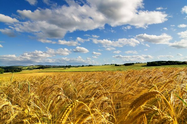 Wheat field with Golden ears