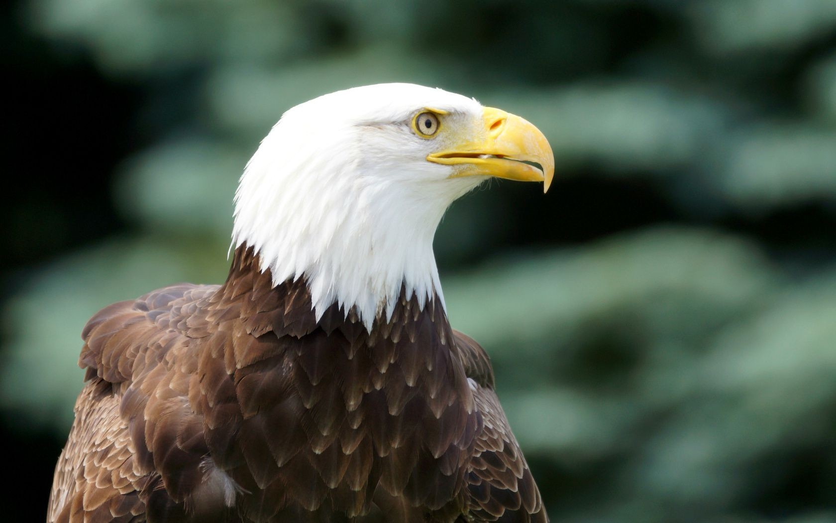 The bird look bald eagle desktop wallpapers for free voltagebd Image collections