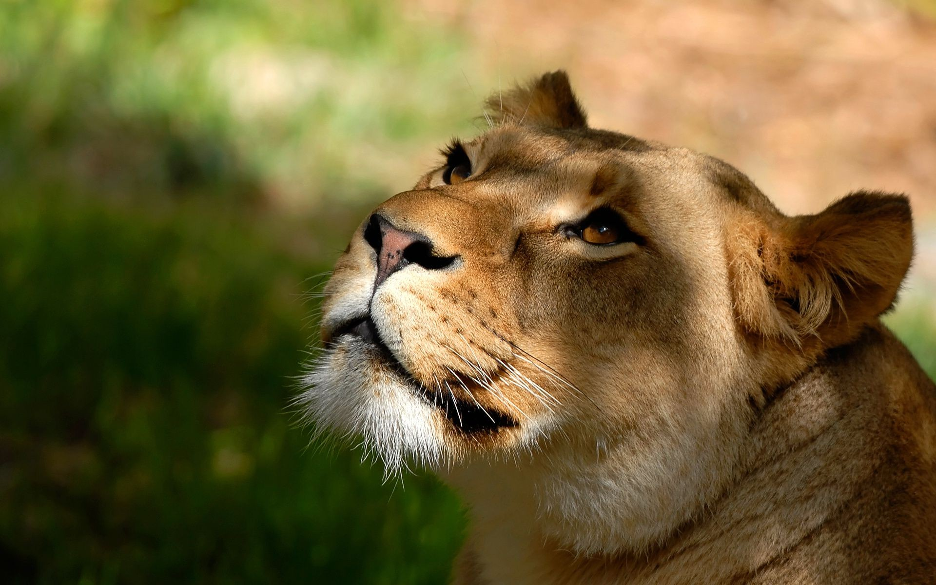 Lion Lioness View The Background Of The Face Head Whiskers Wallpaper