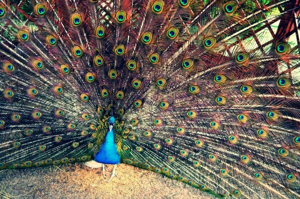 Bird peacock summer beauty