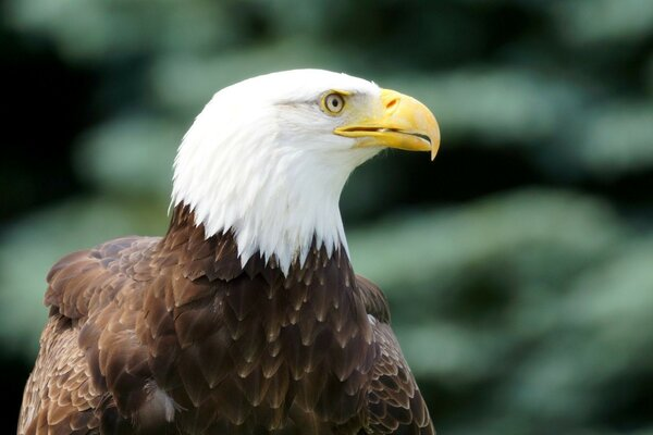 the bird look bald eagle
