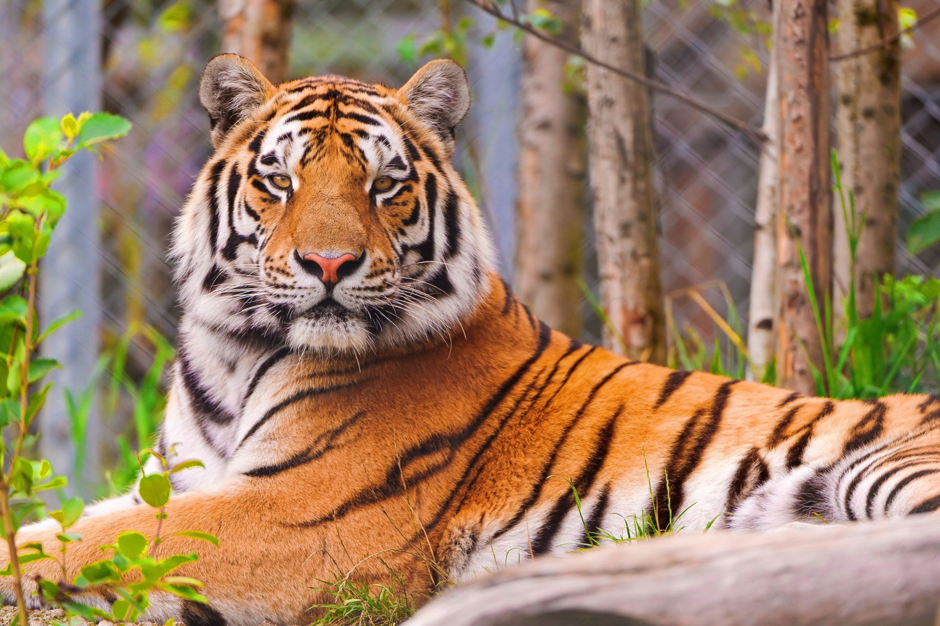 is the Tiger striped face handsome looks