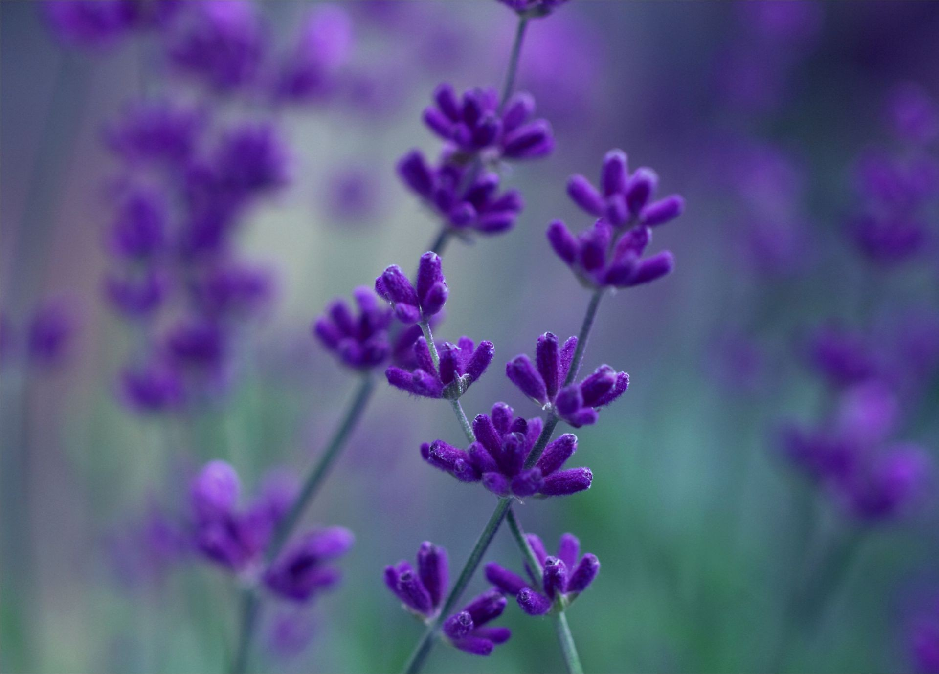 flowers nature flower flora summer violet garden field herbal lavender floral perfume growth blooming color close-up aromatic outdoors petal