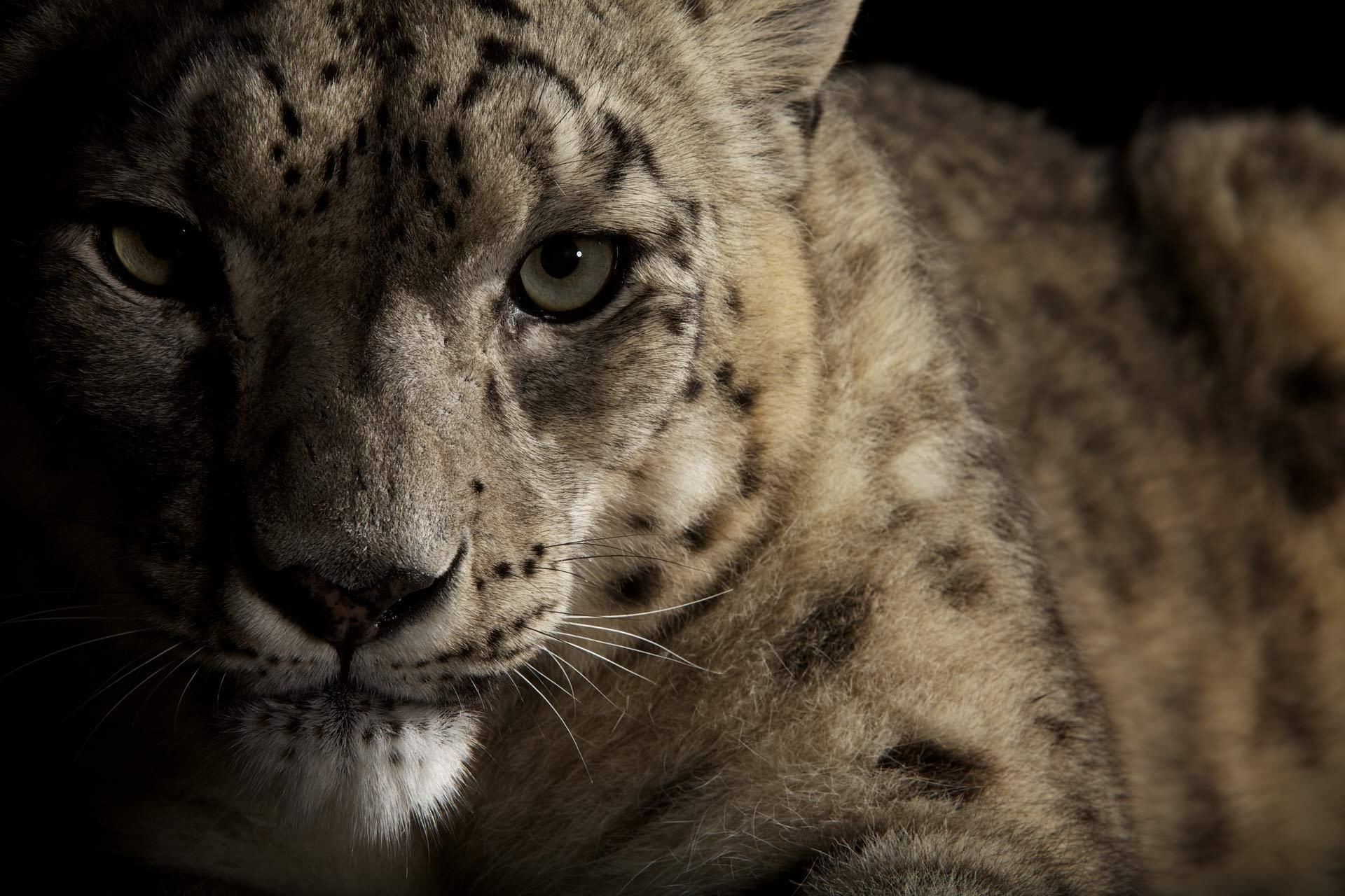 IRBIS the look of a wild cat Snow leopard eyes