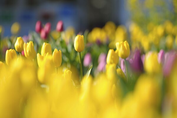bright meadow flowers Tulips yellow red buds