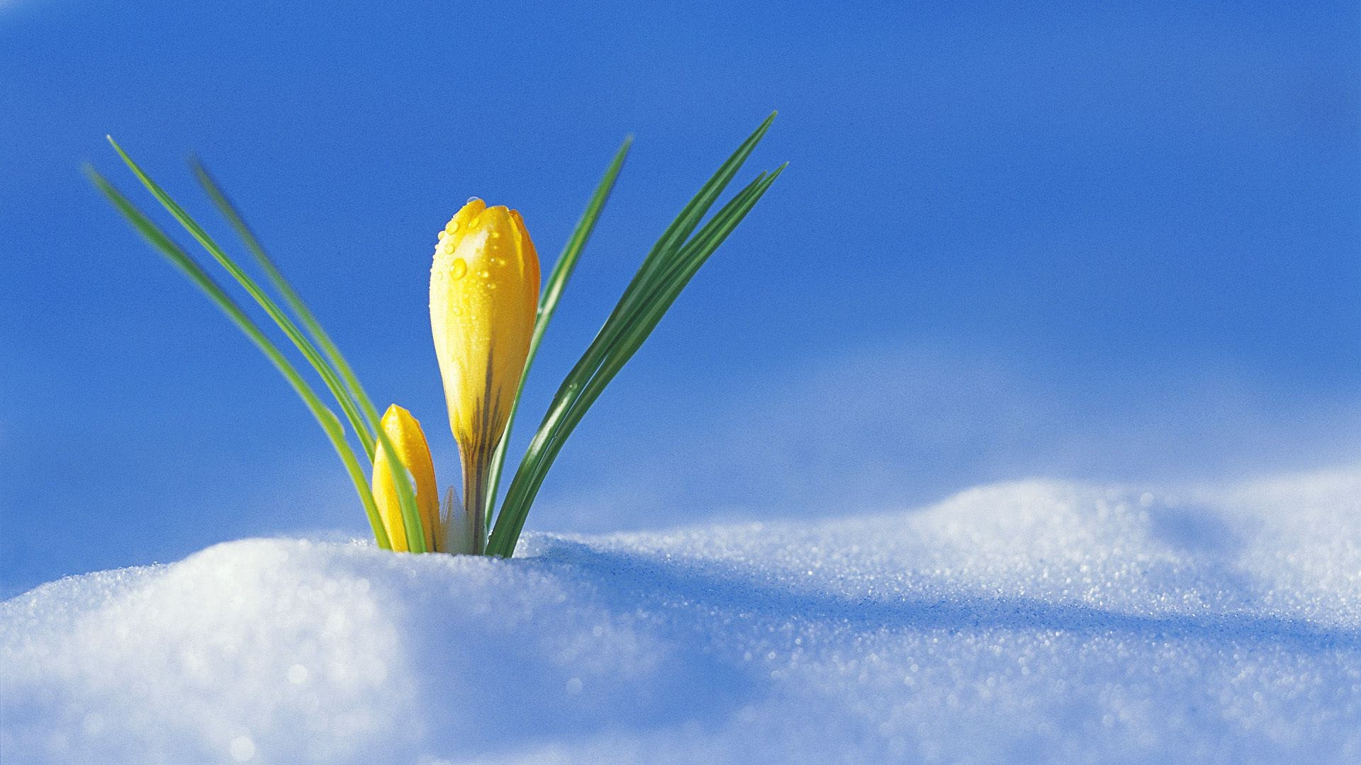 Best Bike Computer >> Yellow Crocus had sprouted snow - Phone wallpapers