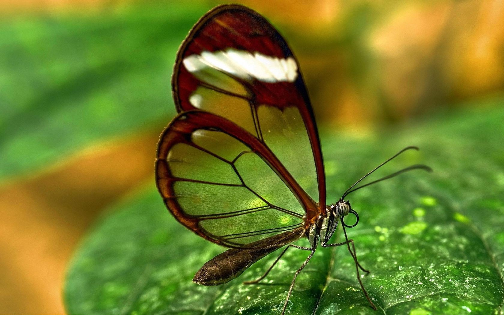 the green transparent wings butterfly
