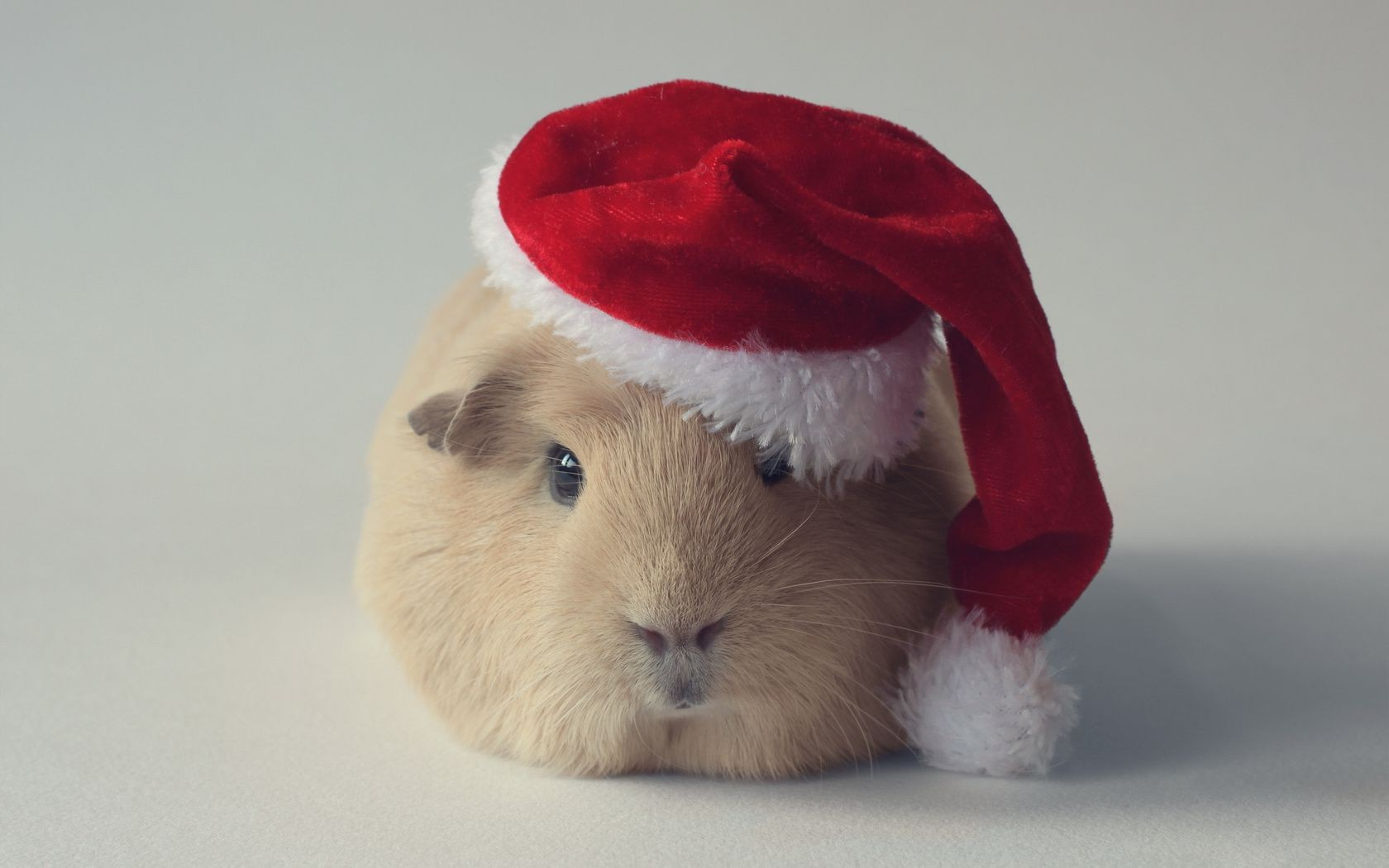 hat Guinea pig rodent