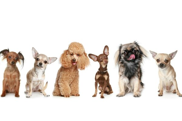 toy Pekineses of poodle Pinscher Chihuahua Dogs
