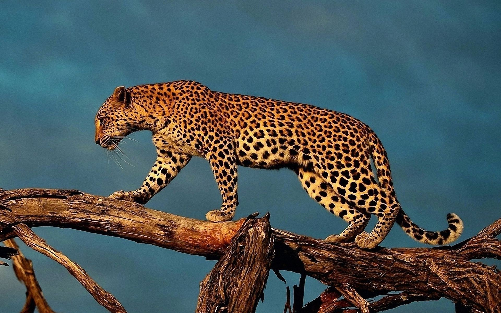 The leopard is on the tree trunk