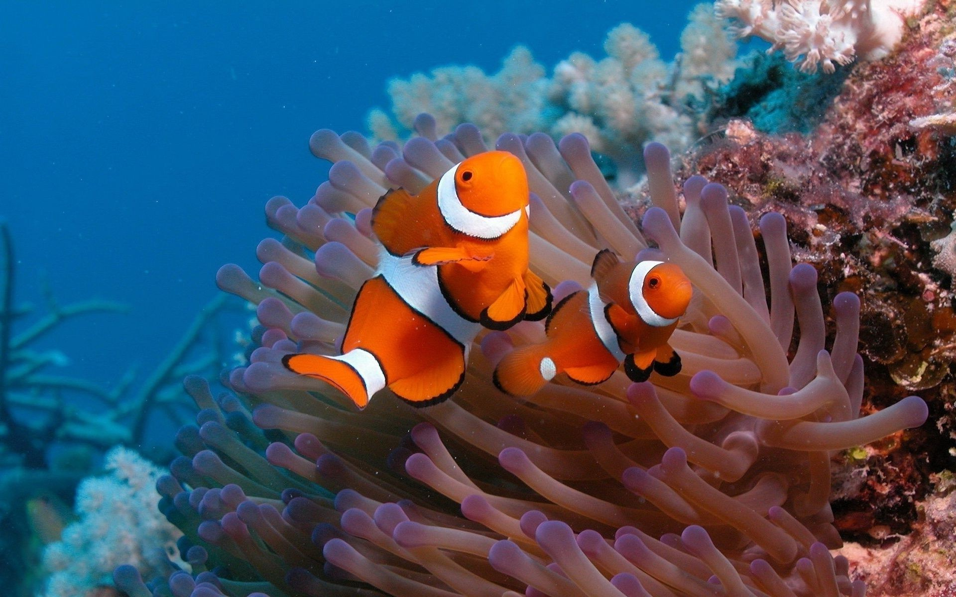 the clown fish the bottom of the ocean Two fish