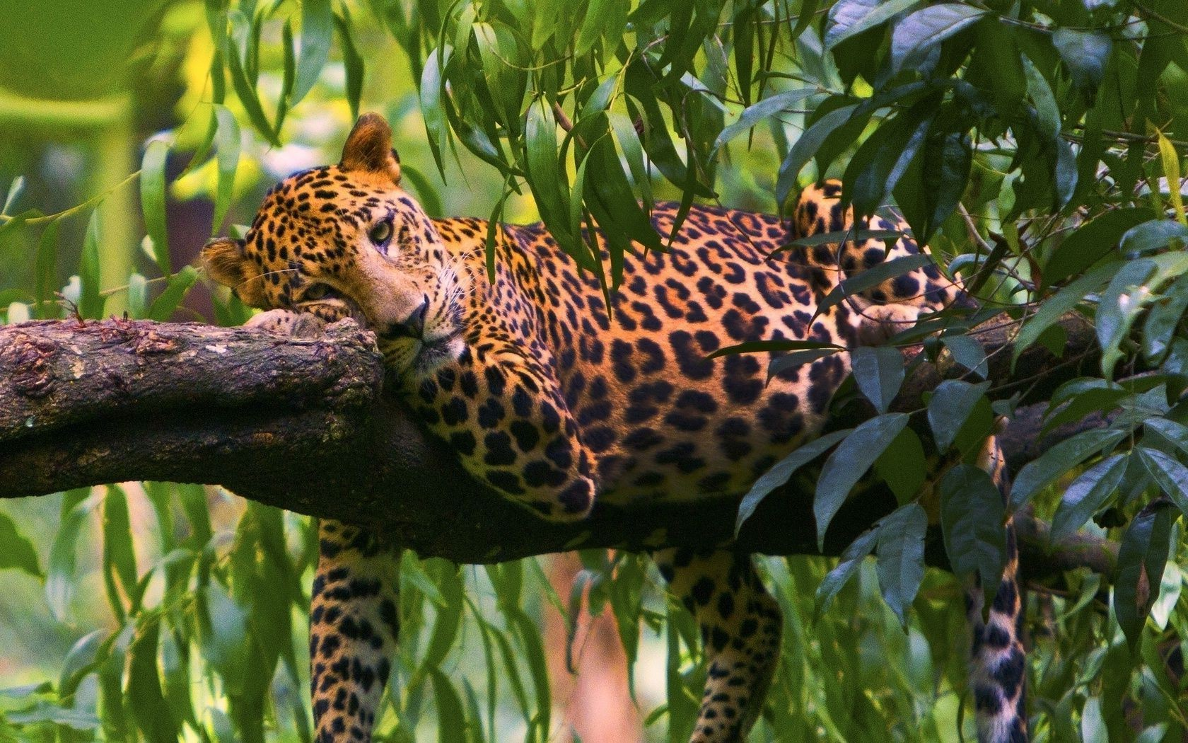 leopards wildlife nature jungle zoo wild animal exotic tropical outdoors leopard mammal