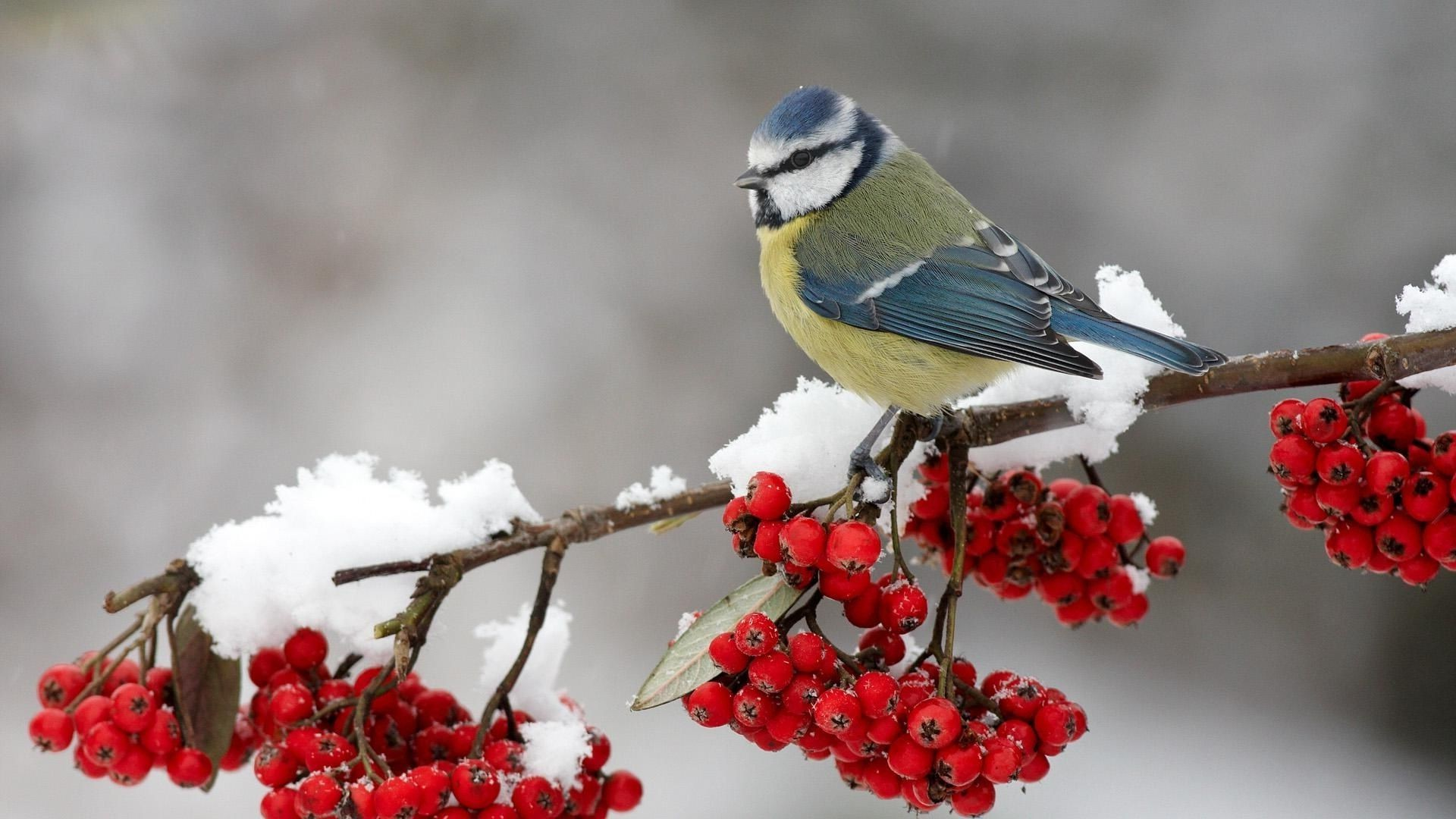 The Beauty Of Winter Titmouse Desktop Wallpapers For Free