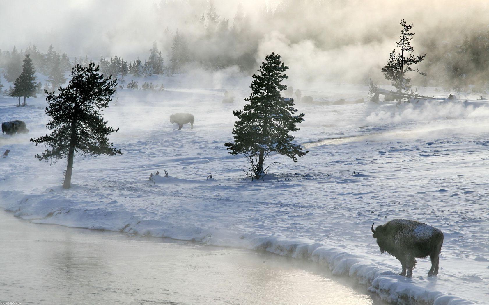 Зубр в снегу загрузить