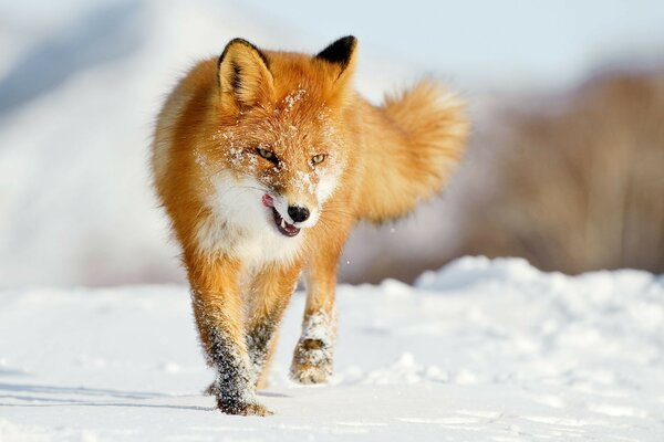 Fox the Fox winter snow hunting vipdelux