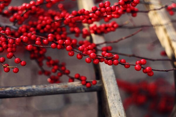 berries ripe branches fruit delicious red Tree