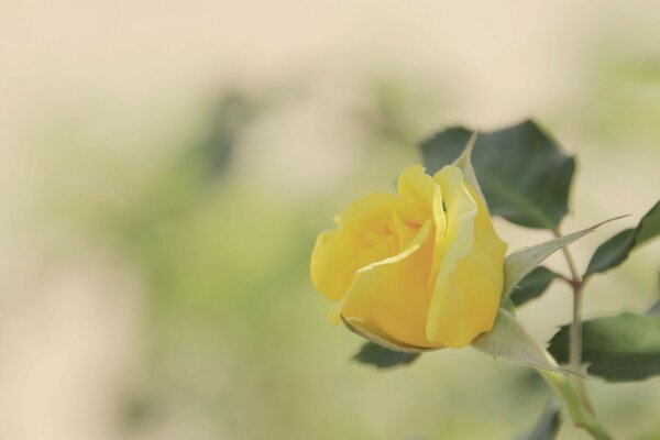 leaves Bud yellow rose flower background