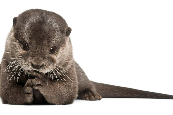 the fur of the otter is a predator mammals otter