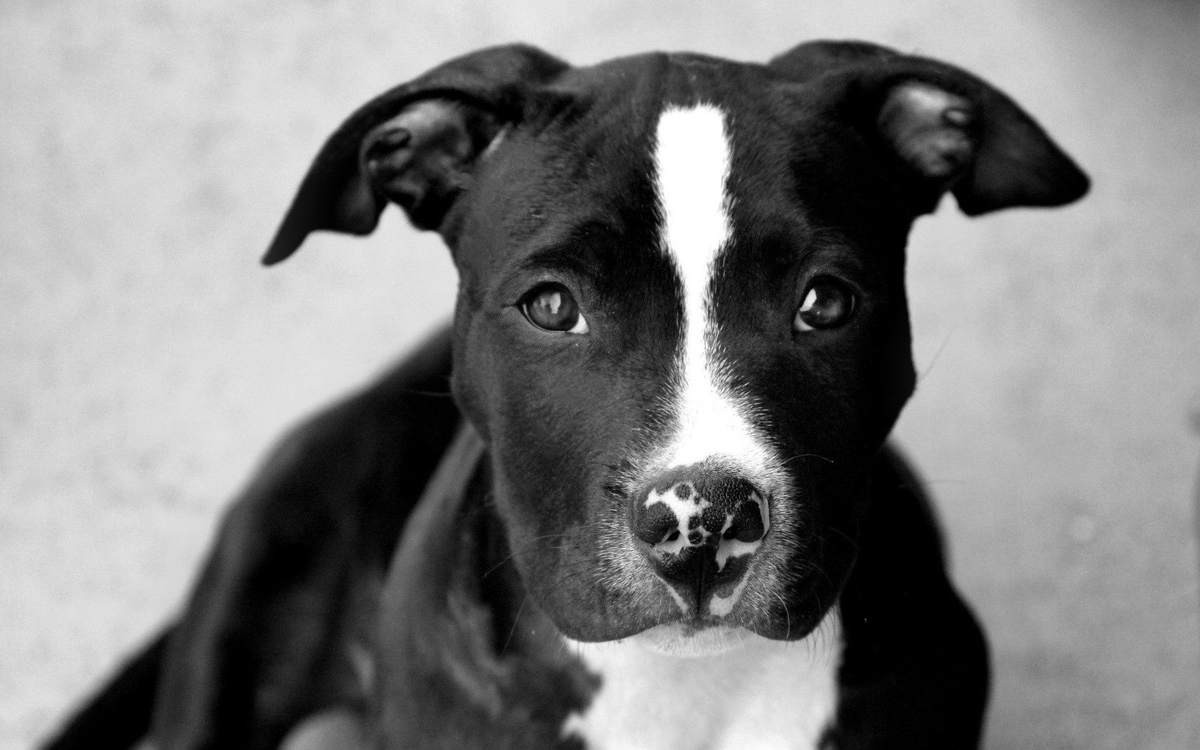 dogs dog portrait mammal canine pet animal one cute monochrome puppy terrier