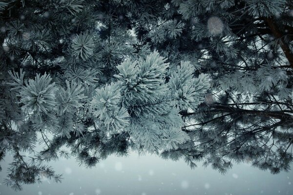 pine frost snow winter