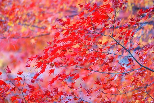 Autumn leaves are bright red branches of the tree