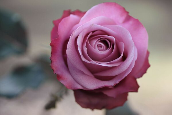 macro pink rose Photo flower