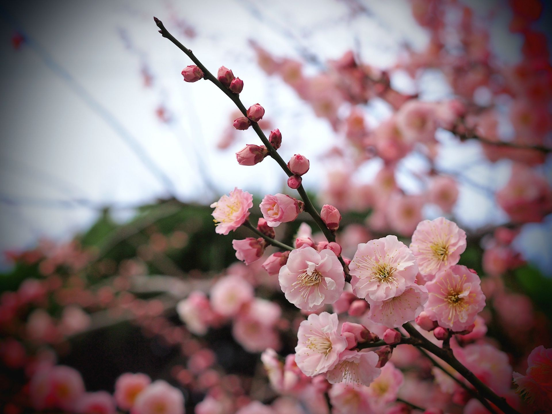 flowers petals Tree branch pink apricot