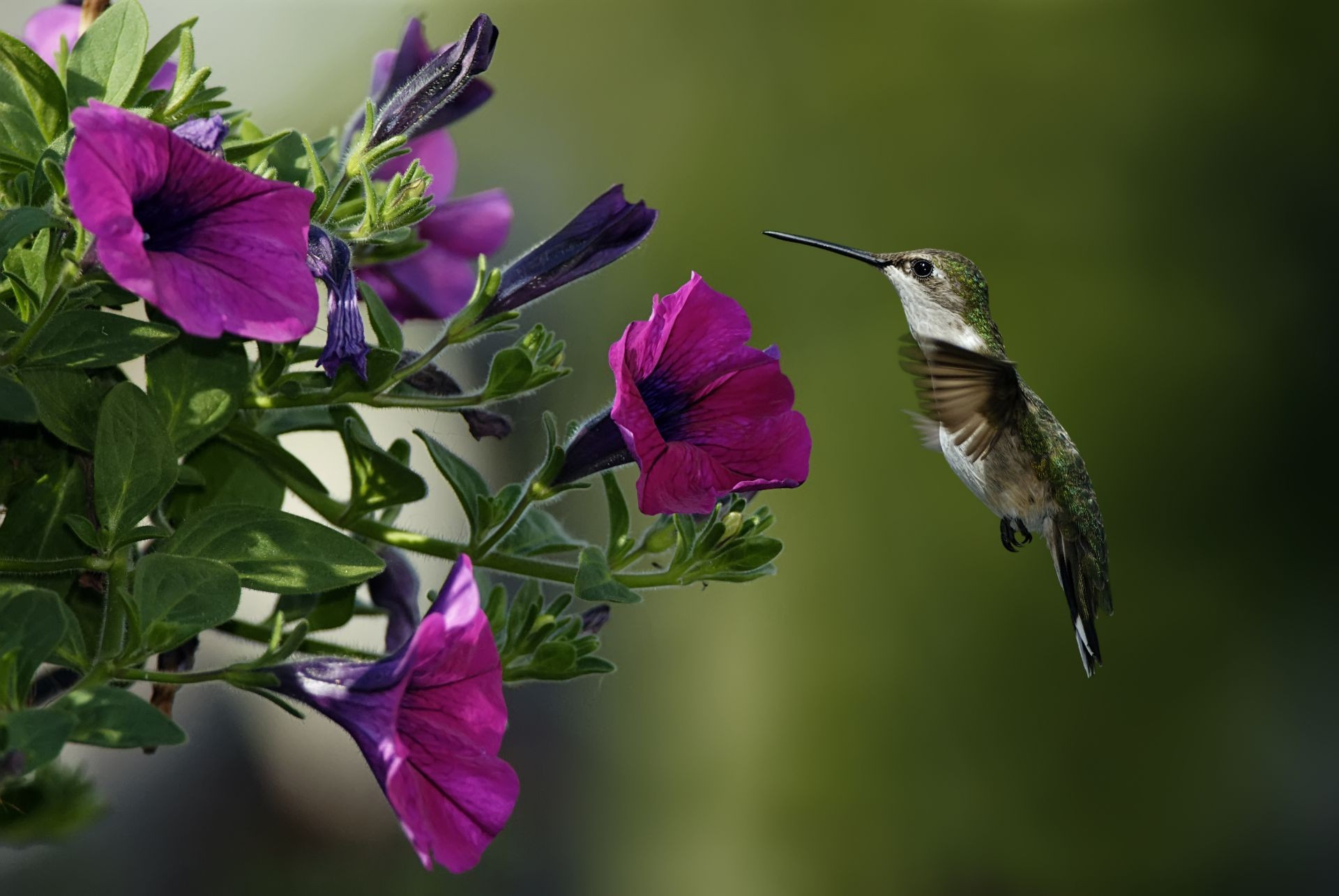 macro Bird humming bird flowers Petunia
