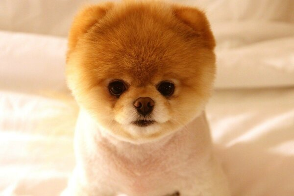 Simple Pomeranian Anime Adorable Dog - 12923009325561913210  Perfect Image Reference_381069  .jpg