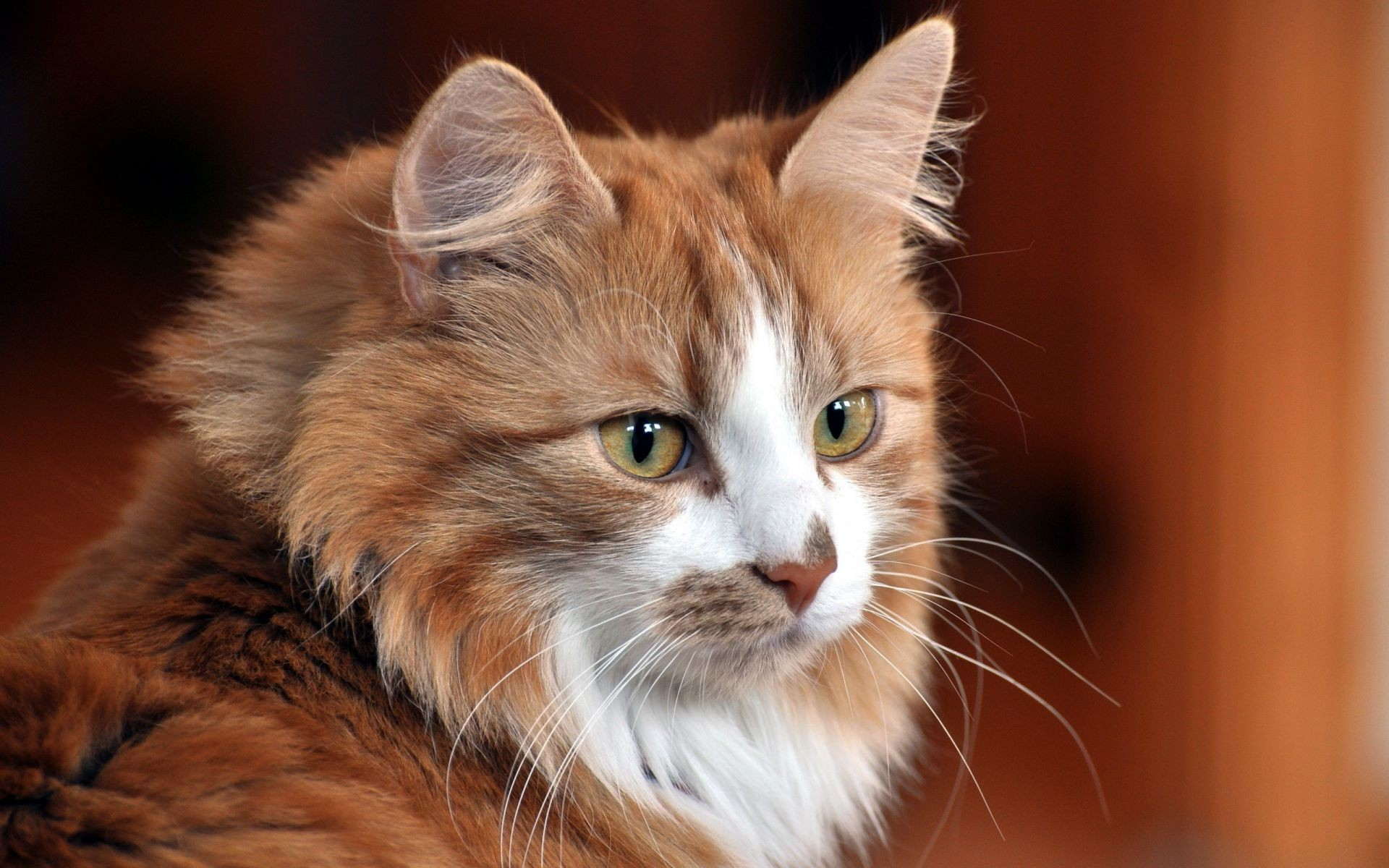 Cat Katenok Ginger Cats Cat Android Wallpapers