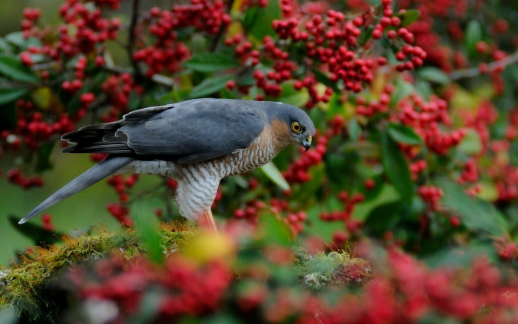the red tree Sparrowhawk bird