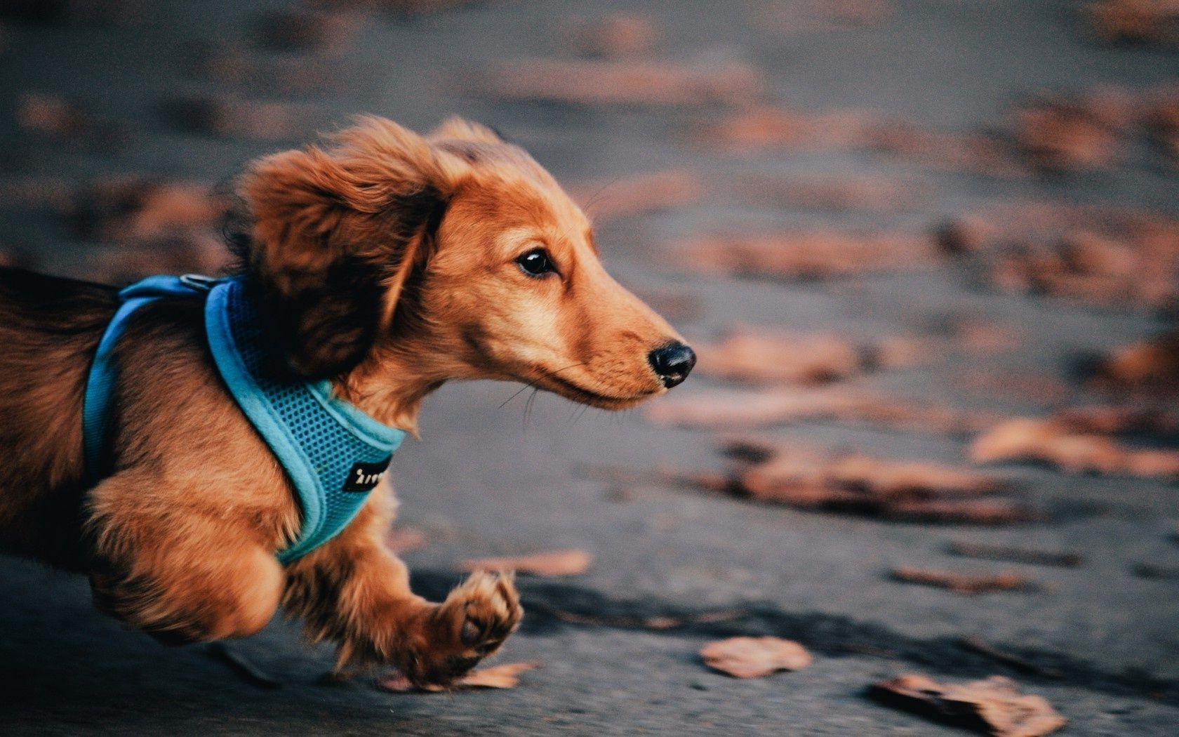 Dachshund dog running autumn