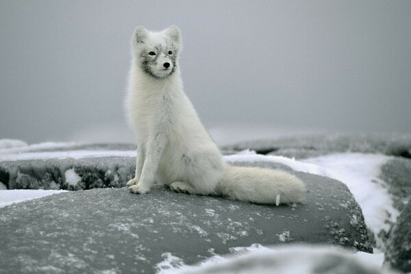 sitting stones Arctic Fox snow Arctic Fox
