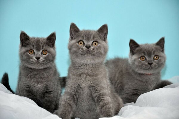British three cats kittens grey