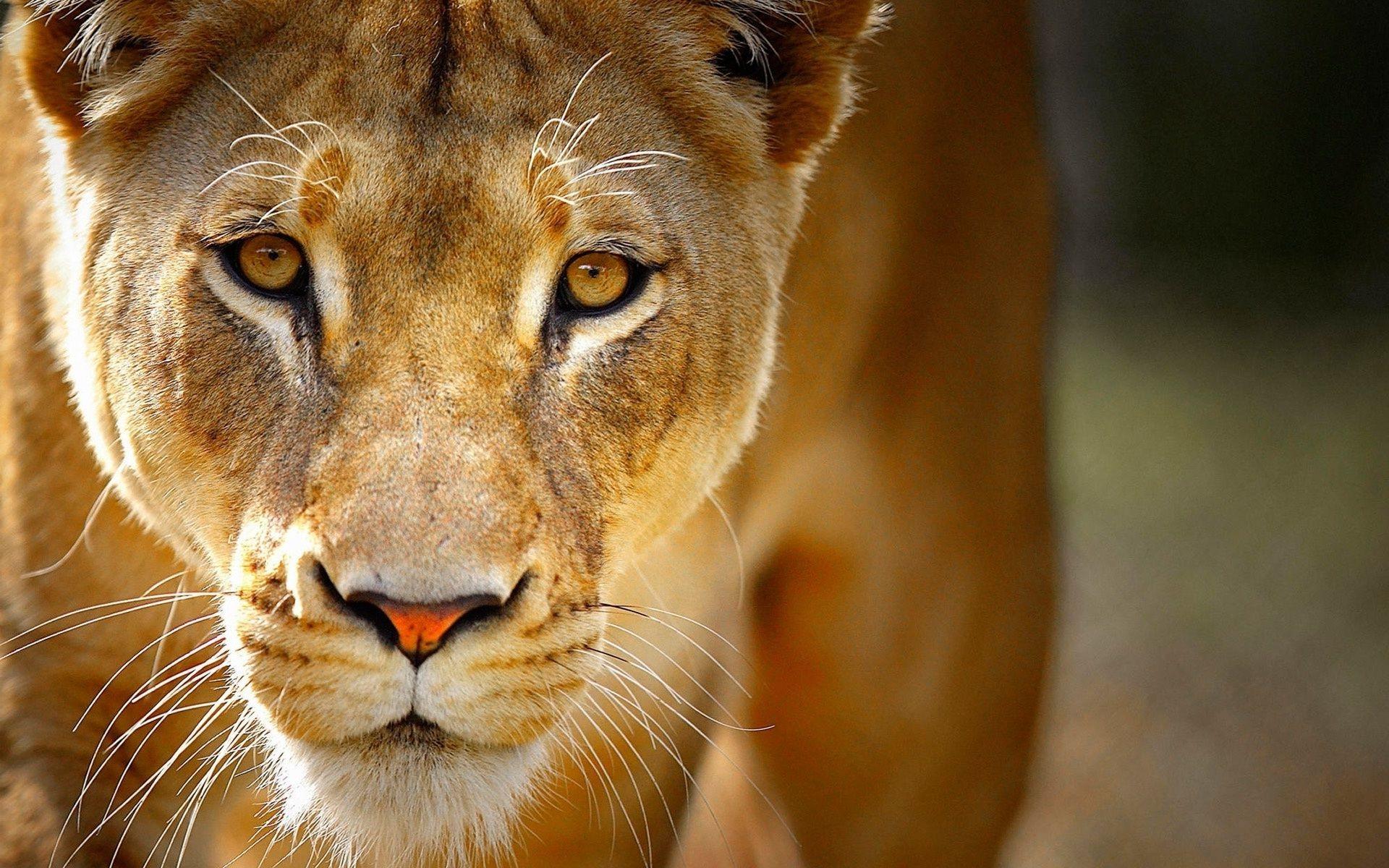 Lioness Lion Cub Lion Safari Africa Heat Nature Phone