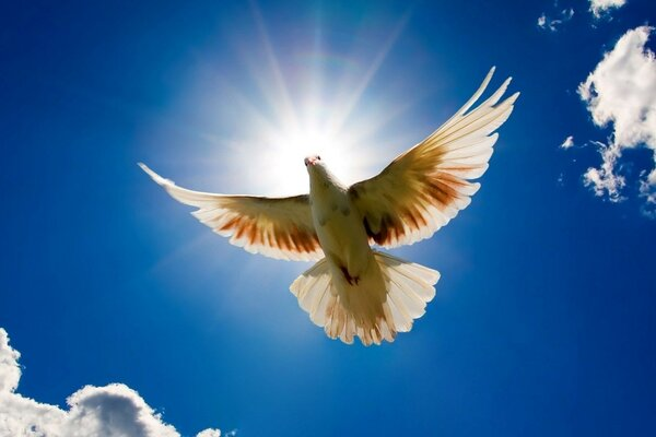 Peace dove on blue sky background