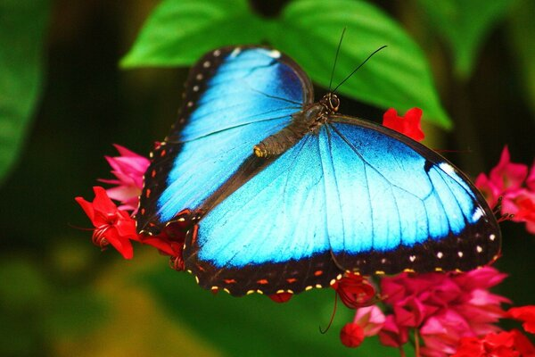 Wallpaper Blue butterfly sitting on a flower morpho morpho