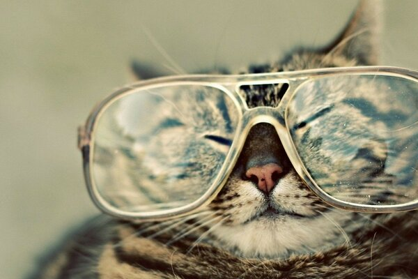 muzzle cat cat glasses