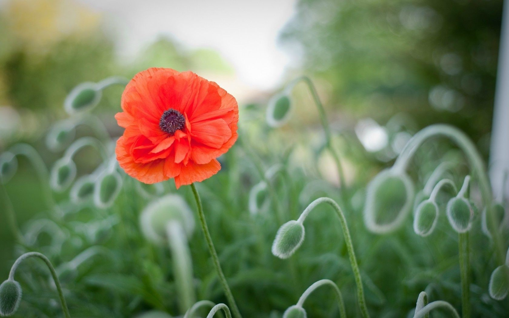 Red poppy flower meadow macro android wallpapers for free mightylinksfo