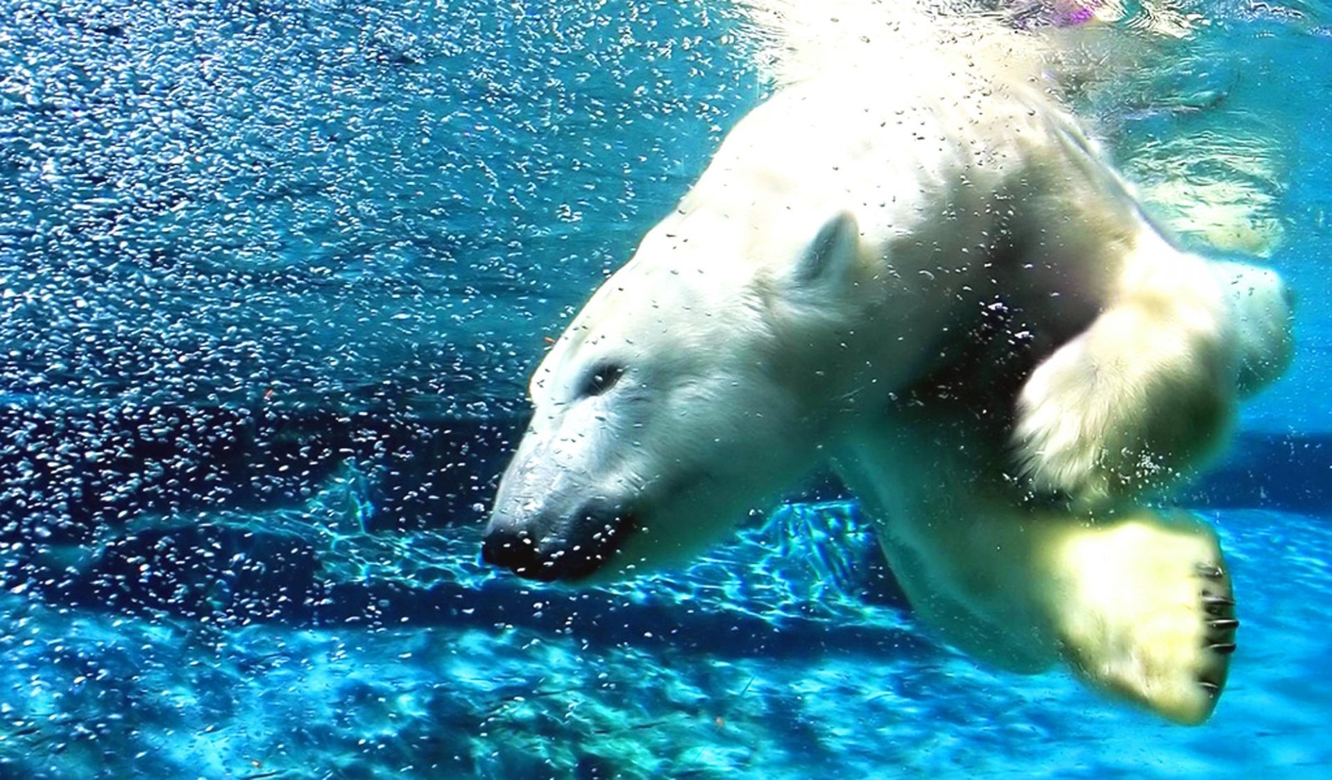 polar bear water