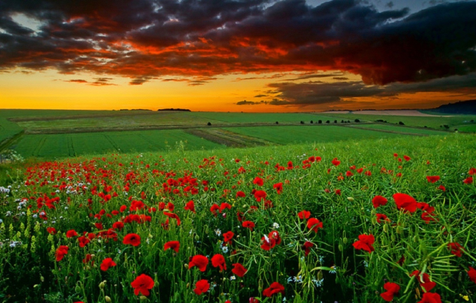dawn and poppies